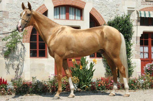 akhal-teke-horse-9