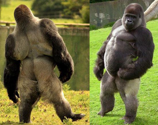 Ambam_gorilla