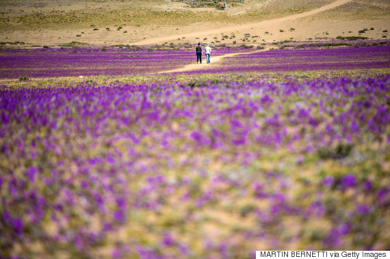 Flowers bloom in the Atacama desert in the Copiapo region, some 800 km north of Santiago, on August 28, 2017. A gigantic mantle of multicolored flowers covers the Atacama Desert, the driest in the world. In years of very heavy seasonal rains a natural phenomenon known as the Desert in Bloom occurs, making the seeds of some 200 desert plants to germinate suddenly some two months after the precipitations. / AFP PHOTO / Martin BERNETTI        (Photo credit should read MARTIN BERNETTI/AFP/Getty Images)