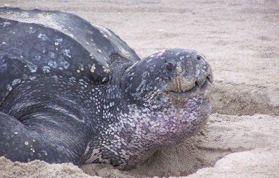 1280px-Leatherback_turtle_in_sand_dermochelys_coriacea