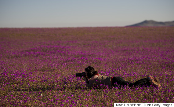 A photographer takes pictures of flowers blooming in the Huasco region on the Atacama desert, some 600 km north of Santiago, on August 26,2017. A gigantic mantle of multicolored flowers covers the Atacama Desert, the driest in the world. In years of very heavy seasonal rains a natural phenomenon known as the Desert in Bloom occurs, making the seeds of some 200 desert plants to germinate suddenly some two months after the precipitations. / AFP PHOTO / MARTIN BERNETTI        (Photo credit should read MARTIN BERNETTI/AFP/Getty Images)