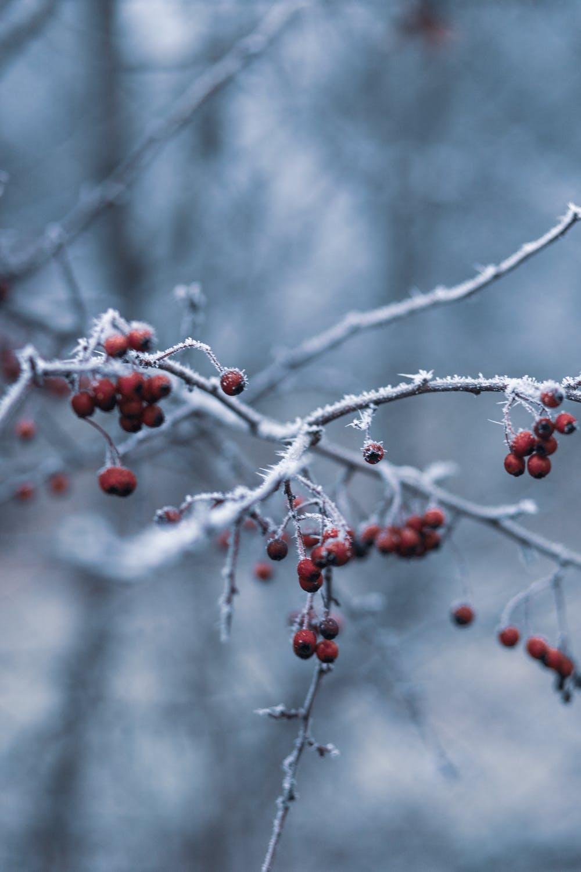 Χιονισμένα κλαδιά