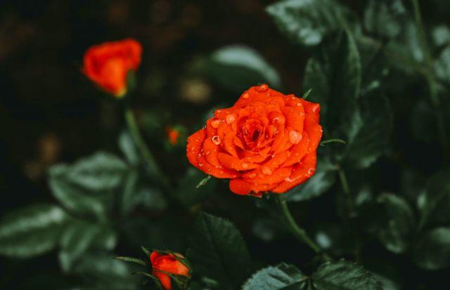 τριαντάφυλλο πορτοκαλί